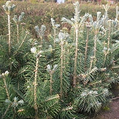 5 Stück Korktanne / Rocky-Mountain-Tanne - Abies lasiocarpa arizonica 15-25 cm, 4 jährig Wurzelware von Gartengruen24 - Du und dein Garten