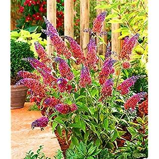AIMADO Samen-10 Stück Buddleia Samen Sommerflieder Blumensamen betörender Duft Mehrjährig Winterhart & sehr pflegeleicht, Zierstrauchs Saatgut für Garten