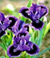 """BALDUR-Garten Winterharte Blumenstaude Iris """"Smart"""" 3 Knollen von Baldur-Garten - Du und dein Garten"""