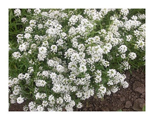 les-graines-bocquet-graines-de-alysse-annuelle-corbeille-dargent-graines-potageres-a-semer-sachet-de