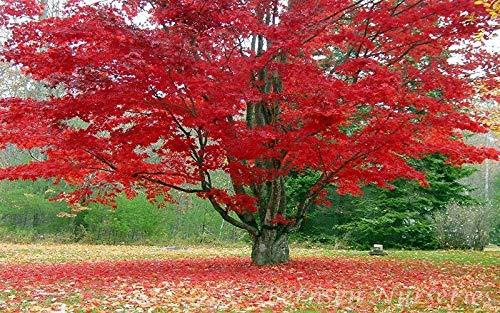 PLAT FIRM Germinazione dei semi: SEMENZALI 5 di acero rosso albero radicato Acer Rubrum (5 Piante gratuiti) Prato Giardino