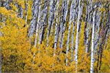 Leinwandbild 60 x 40 cm: Aspen grove in peak fall color in Glacier National Park in Montana von Chuck Haney / Danita Delimont - fertiges Wandbild, Bild auf Keilrahmen, Fertigbild auf echter Leinwan...