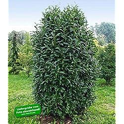 """BALDUR-Garten Immergrün Säulen-Kirschlorbeer""""Genolia®"""", 5 Pflanzen Prunus laurocerasus Genolia® winterhart"""