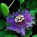 Lila Passionsblume - Passiflora caerulea Purple Haze - 60-80cm 2 Ltr. Topf von GardenPalms - Du und dein Garten