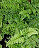 Staudenkulturen Wauschkuhn Polystichum setiferum 'Plumosum Densum' - Schildfarn - Farn