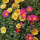 Moss Rose 250Samen Portulak Portulakröschen Bodendecker dürreperioden