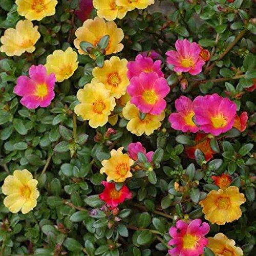 Moss Rose 250Samen Portulak Portulakröschen Bodendecker dürreperioden (Bodendecker Rosen)