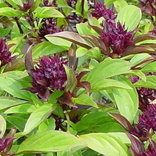 """Ocimum basilicum - Thai-Basilikum """"Siam-Queen"""" - 50 Samen"""