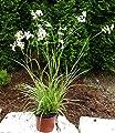 Luzula nivea - Schneemarbel Ziergräser winterhart mehrjährig immergrün 13 cm Topf für Schatten geeignet von Harro's Pflanzenwelt bei Du und dein Garten