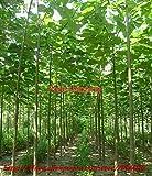 Shopmeeko paulownia elongata Neue Waldbaum-Bonsais, schnell wachsender Baum 200pcs / pack