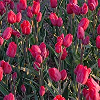 PLAT FIRM Semillas DE GERMINACION: Merry-Go-Round Solo Tulipã¡n Tardão 6 Bombillas