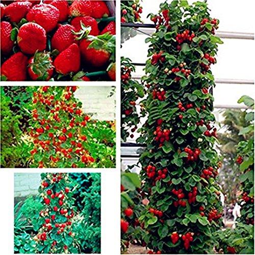 Riesen Kletter-Erdbeere - Strawberry Giant Red Climbing - 30 Samen