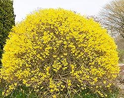 Dominik Blumen und Pflanzen, Goldglöckchen, Forsythie, Forsythia,  gelb blühend, 2 Pflanzen,  2 Liter Topf, 20 - 40 cm hoch, winterhart, für Blütenhecken und als Solitär, plus 1 Paar Handschuhe gratis