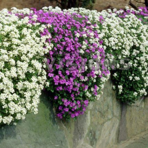 E Garden Aubrieta Mix (Rock Cress) – Large Flowered Hybrid 20 Seeds