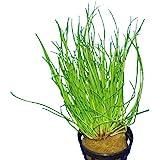 Eleocharis acicularis - Plante pour Aquarium