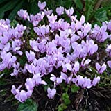 Cyclamen Hederifolium Mixed Seeds