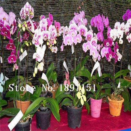 Vente orchidées Papillon