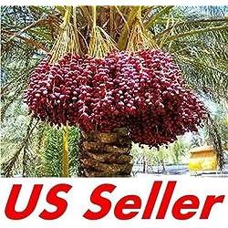 7 PCS Medjool Dattelpalme Seeds E31, Bio Bonsai Phoenix Dactylifera US-Verkäufer