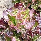 Kopfsalat - Wunder der vier Jahreszeiten - sehr zart - 200 Samen