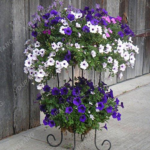 200 pcs / sac Petunia Graines Bonsaï Graines de fleurs Court Taille Jardin Fleurs Graines d'intérieur ou extérieur Plante en pot Livraison gratuite gris clair