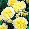 David Austin-Kletterrose 'The Pilgrim®' - AGM-Rose von Garten Schlüter auf Du und dein Garten