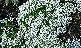 100 graines Alysse odorant - Gazon de Marie - blanches - fleurs annuelles - semences