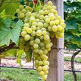 Qulista Samenhaus - 50pcs Rarität Aromatisch Weinrebe Kernlos Reichtragend zuckersüß wohlschmeckend, Kletterpflanzen Obstasamen winterhart mehrjährig
