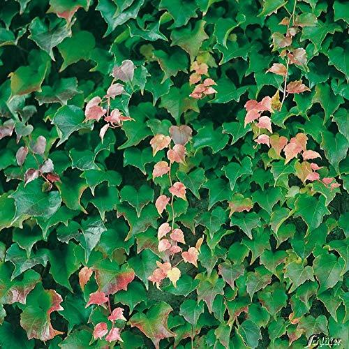 Yukio Samenhaus - Selbstklimmender Wilder Wein Jungfernrebe \'Veitch Boskoop\' Kletterpflanzen Goldefeu mit Haftwurzeln Blumensamen mehrjährig winterhart für Wand Fenster