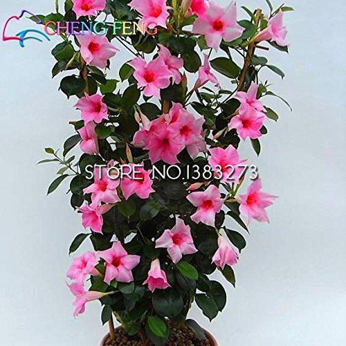 On Sale !!! Regenbogen Mandevilla Seeds Schöne Blumensamen der angehende Rate 95{3f6652da28e4c232db14ad642ffcfa2e1ce000edce43808a6a54ebb730bf001b} Gartenpflanze für Kind-Geschenk