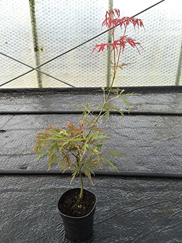 acer-palmatum-dissectum-tree-starter-plant-in-a-9-10cm-pot