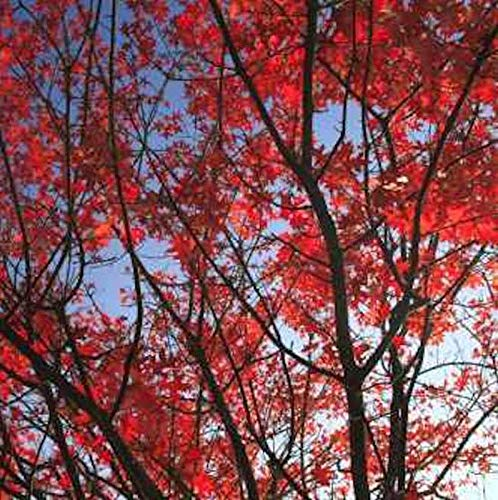 Rot Rindige Eiche Haaren 60-80cm – Quercus rubra