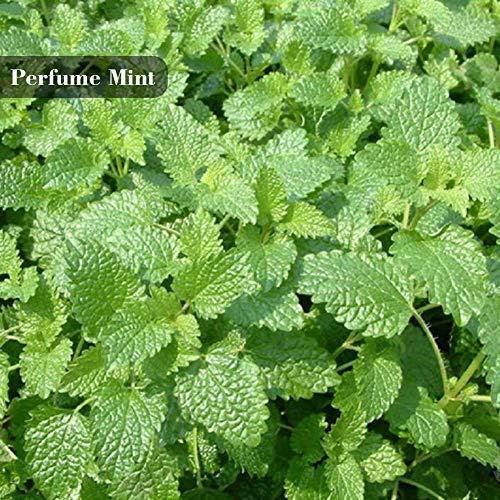 Minze Samen Kraut Pflanzen Parfüm Minze Zitrone Minze Pfefferminze Katzenminze Samen 100 Teile/paket -
