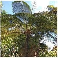 Cyathea contaminans - helecho árbol - 10 semillas