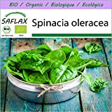 SAFLAX - BIO - Spinat - Winterriese - 250 Samen - Spinacia oleracea