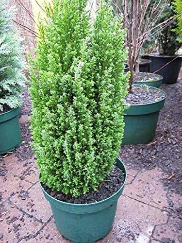 Chamaecyparis lawsoniana Ellwoods Pillar - Scheinzypresse Ellwoods Pillar