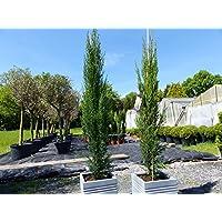 Cupressus sempervirens pyramidalis Mittelmeer-Zypresse winterhart 1 Pflanze BALDUR-Garten Echte Toskana S/äulen-Zypressen