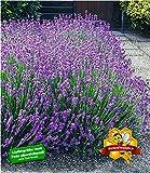 BALDUR-Garten Winterharte Stauden Lavendel-Hecke