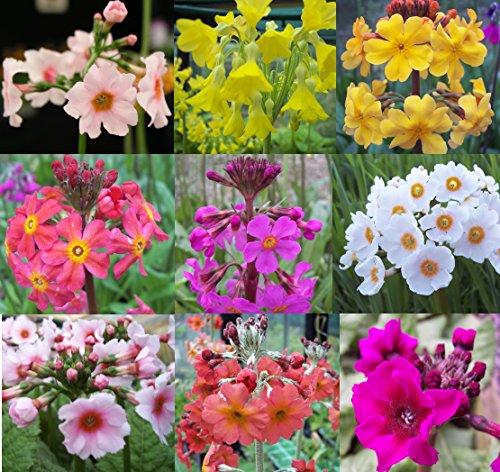 primula-9-plant-bog-garden-collection