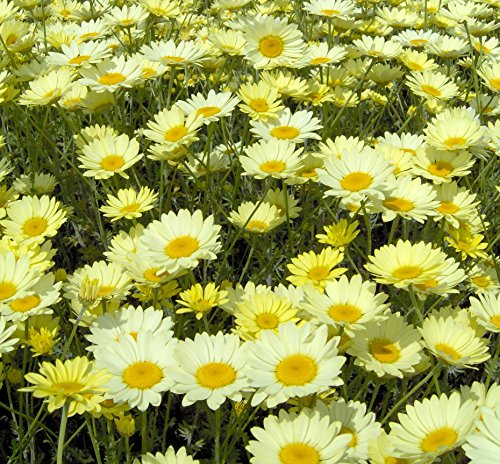anthemis-tinctoria-ec-buxton-and-sauce-hollandaise-perennials-plants-in-9cm-and-13cm-pots