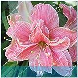 ZLKING 1 PC / Big Echte Amaryllis Zwiebeln Innen- und Außentopf Blumen Pflanzen Blumenzwiebeln Bonsai-Überlebensrate hoch Pack 16