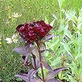 lichtnelke - Schwarzrote Bartnelke ( Dianthus barbatus nigrescens ' Sooty ' )