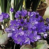 Staude Heimisches Leberblümchen - Hepatica nobilis- mit dunkel-blauen bis violetten Blüten - winterhart mehrjährig - Garten Schlüter - Pflanzen in Top Qualität