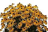drei Pflanzen Gelber Sonnenhut (Rudbeckia fulgida