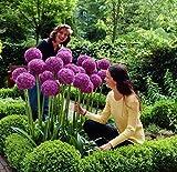 Anitra Perkins - Riesen Zierlauch Sternkugel Lauch Allium giganteum exotische blumensamen mischung Blumenlauch mehrjährig winterhart