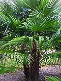 Extrem Frostharte Himalaya Hanfpalme Trachycarpus Kumaon Größe 80-100 cm. bis - 13 Grad