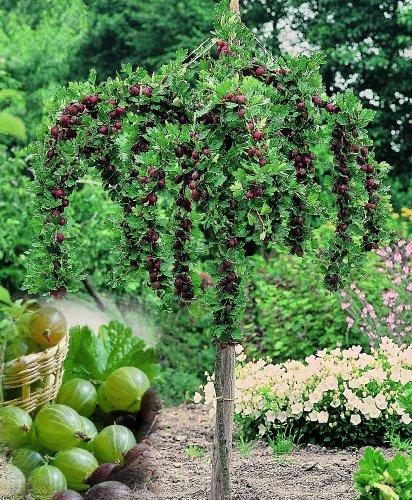 Stachelbeer-Stamm Invicta®, grün, 1 Pflanze