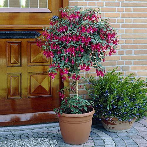Flowering Standard Fuchsia Trees...