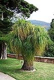Elefantenfuß Palme 10 Samen -Beaucarnea