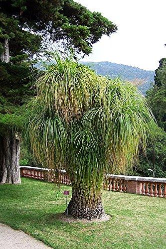 Elefantenfuß Palme 10 Samen -Beaucarnea recurvata- **Toll Zimmerpflanze**