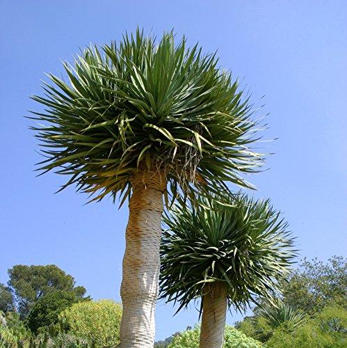 Yucca rostrata - Stammbildende Yucca - Samen